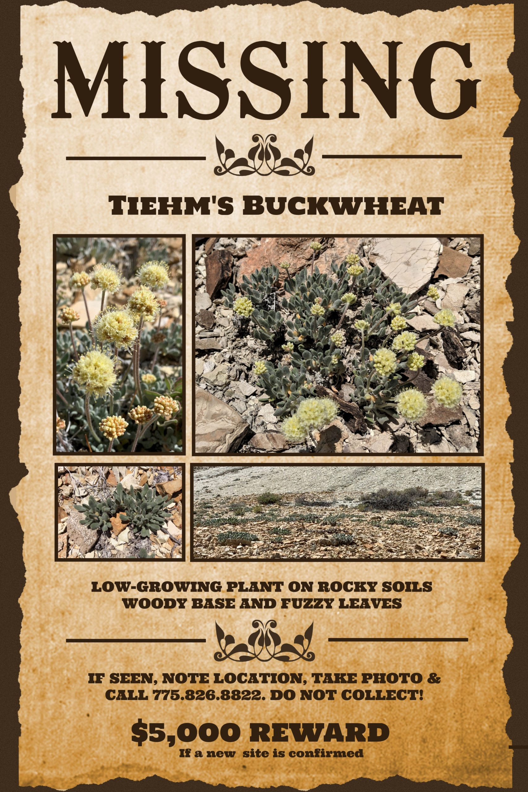 Ioneer is offering a $5,000 Reward for the discovery of Tiehm's buckwheat.
